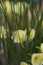 Narcissus bulbocodium subsp praecox var paucinervis
