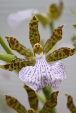 Zygopetalum Warringa Wonder