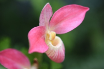 Phragmipedium Hanna Popow