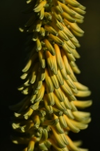 Aloe africanus