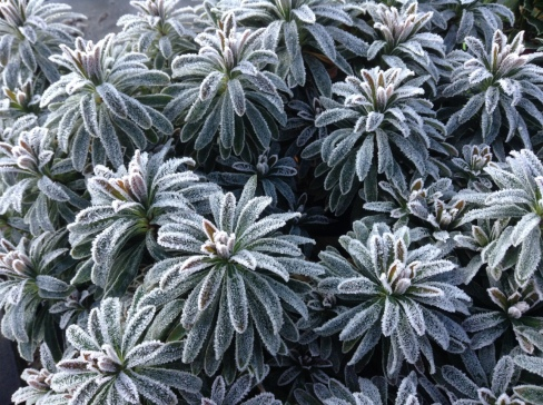 newletter-euphorbia-frosted