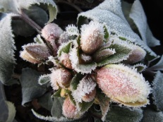 newletter-hellebore-frosted