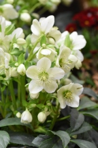 Hellebore Ice Cream
