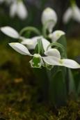 Galanthus Sweet Alice