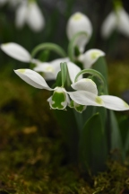 Galanthus Sweet Alice