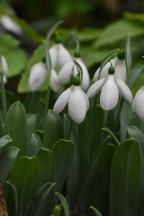 Galanthus Marjorie Brown