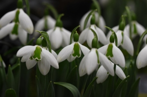 Galanthus Under Cherry Plum