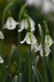Galanthus Philippe Andre Meyer