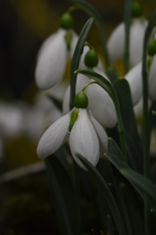 Galanthus Moontown Mighty