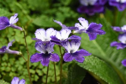 Streptocarpus Katie