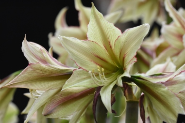Hippeastrum Magic Green