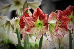 Hippeastrum Flamenco Queen