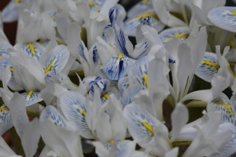 Iris Polar Ice