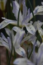 Iris Painted Lady