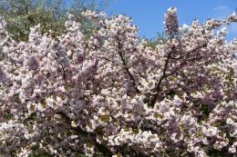 Prunus Hokusai