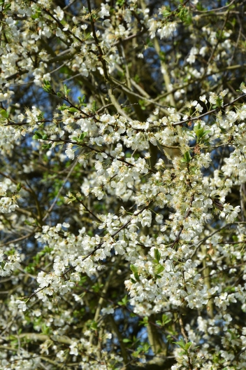 Prunus x domestica
