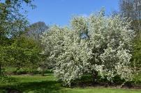 Pyrus betulifolia