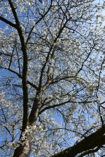 Prunus avium Adiana