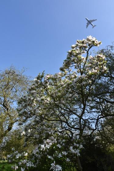 Magnolia soulangeana Superba