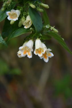 Dipelta yunnanensis