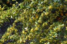 Berberis pruinosa var brevifolia
