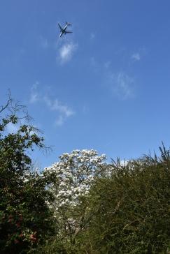 Magnolia & planes ...