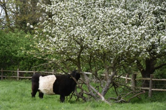 The Belted Galloway cattle have returned to the Meadows