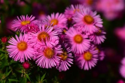 Badsey Pink