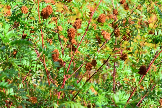 Glycyrriza yunnanensis