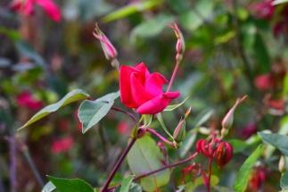 Rosa x odorata Sanguinea Group - Bengal Crimson