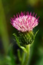 Cirsium Pink Blush