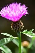 Centaurea dealbata Cornflower