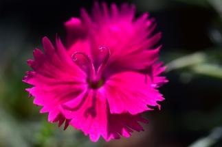 Dianthus Neon Star