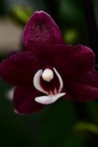 Phalaenopsis hybrid Kaola Twinkle