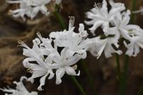 Springbank White Seedlings