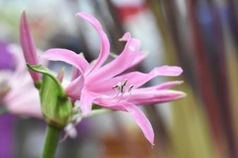 Nerine bowdenii Pink Wonder