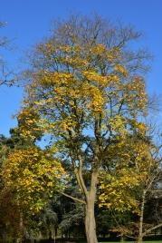 Acer cappadocicum Rubrum