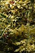 Ilex aquifolium Golden Queen - all cream