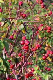 Rosa x hibernica hips