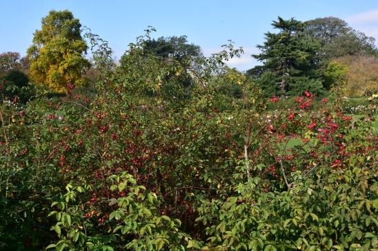 Rosa x hibernica