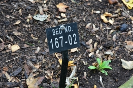 The bed number for Lapageria rosea