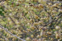 Fragrant Chimonanthus