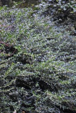 Sarcococca confusa - such a heady scent