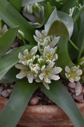 Ornithagalum lanceolatum