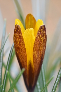 Crocus Golden Nugget