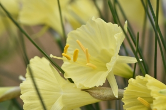 Narcissus Floral Feast