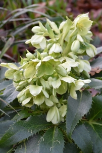 Hellebore Marion White Group