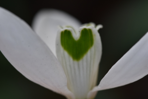 Galanthus valentinei