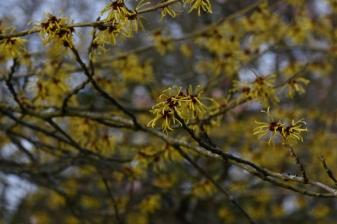 Hamamelis mollis Coombe Wood