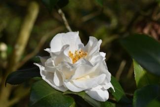 Camellia japonica Hakurakuten